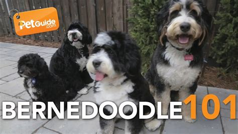Bernedoodle Dogs 101: Is a Bernedoodle Right for You