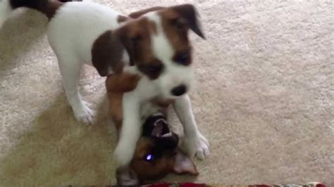 Jack Russell / rat terrier puppies - YouTube