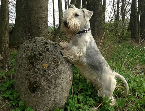 LIFE SPAN OF AIREDALE TERRIER