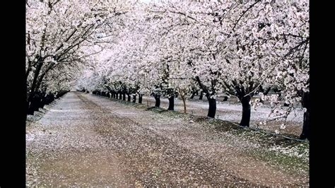 Almond Orchard Images With Music by Kenny G - YouTube