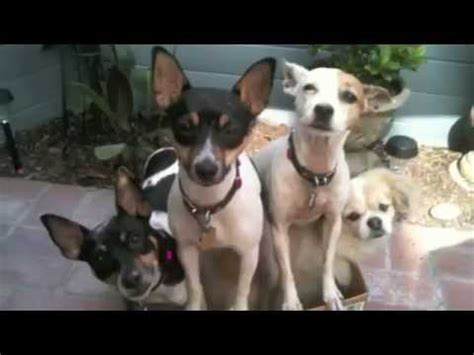 i Love Dogs Presents The Rat Terrier - YouTube