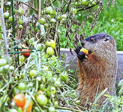 Art Lander's Outdoors: The groundhog celebrated in